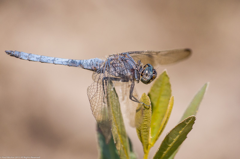 Keeled Skimmer - male