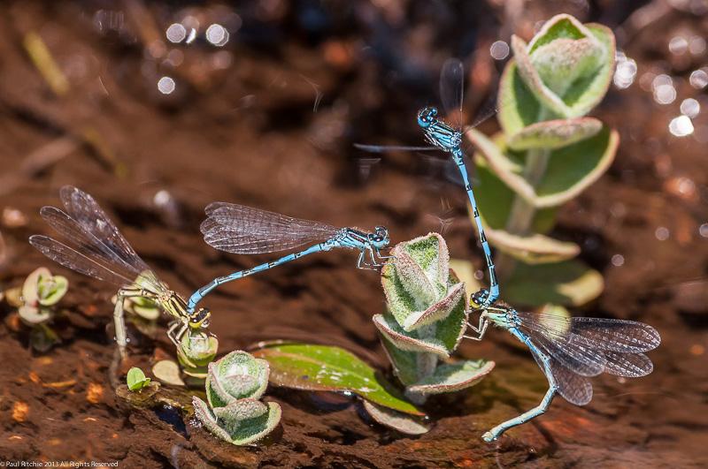 Southern Damselflies - tandem pairs ovipositing