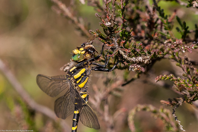 Golden-ringed Dragonfly - male eating Bee