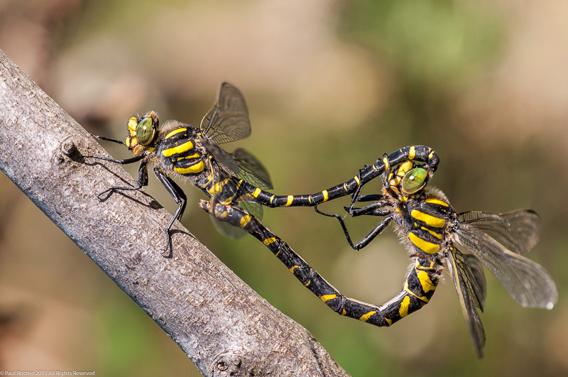 Golden-ringed Dragonflies - pair in cop