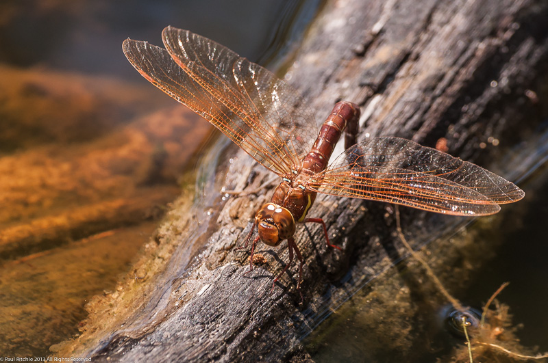Brown Hawker - ovipositing female