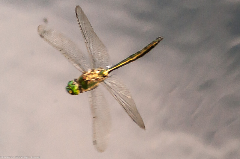 Brilliant Emerald - male