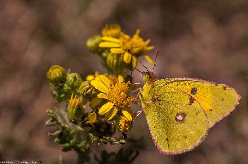 Clouded Yellow Butterfly-female