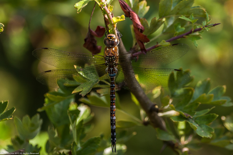 Migrant Hawker - immature male
