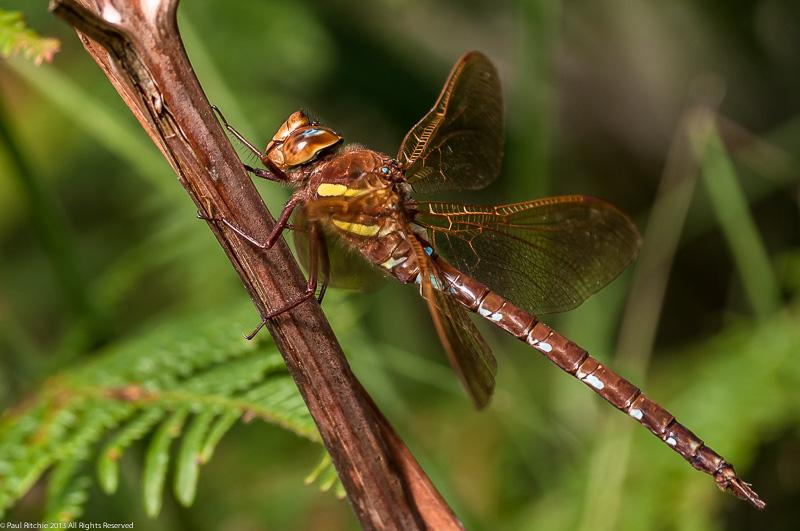 Brown Hawker - male