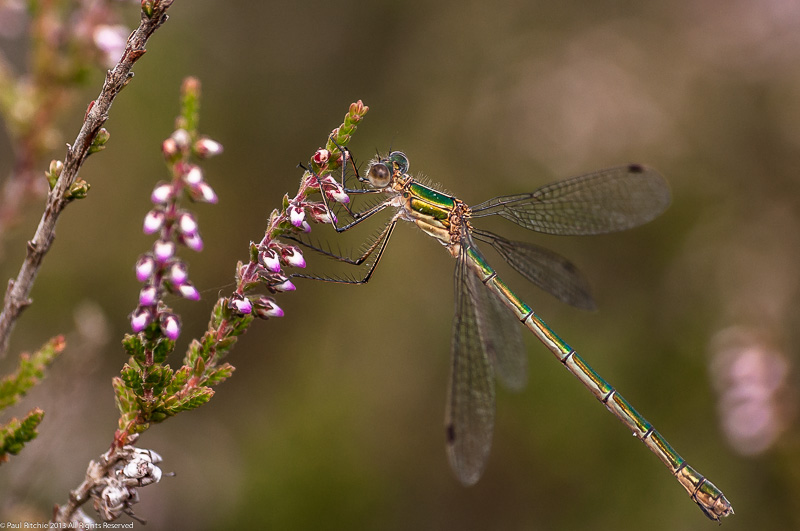 Emerald Damselfly - female