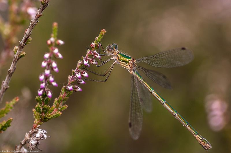 Emerald Damselfly - female
