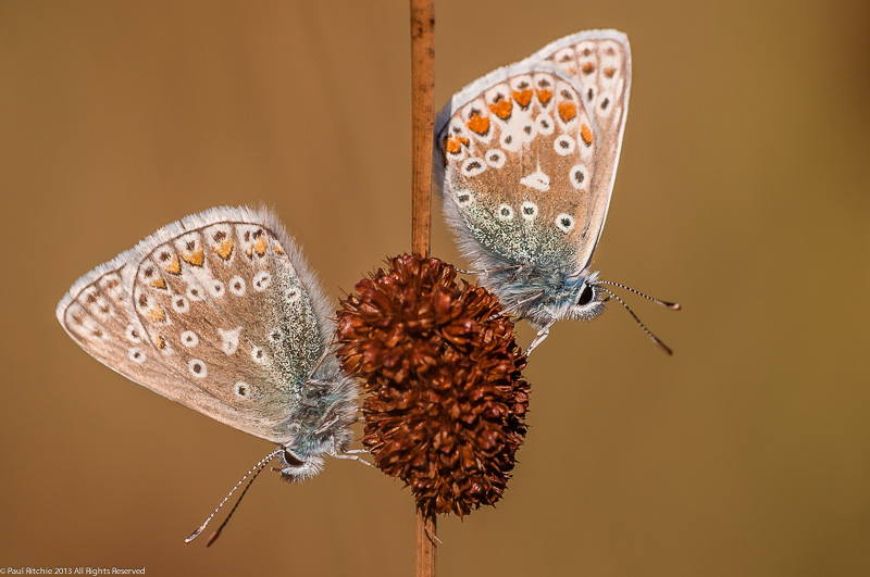 Common Blues at roost