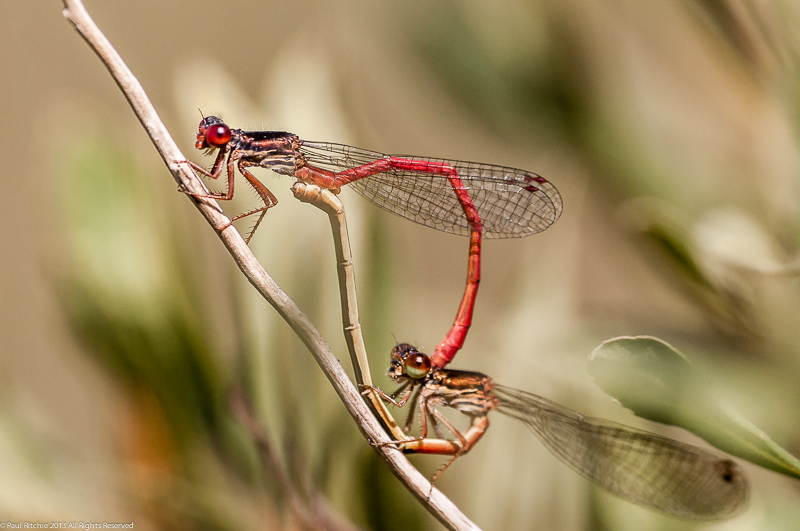 Small Red Damselflies - pair in cop
