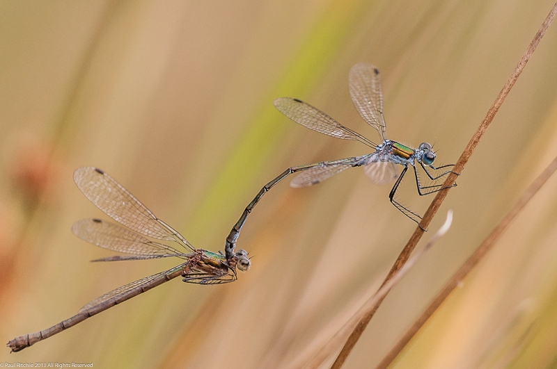Common Emerald Damselflies - pair in cop