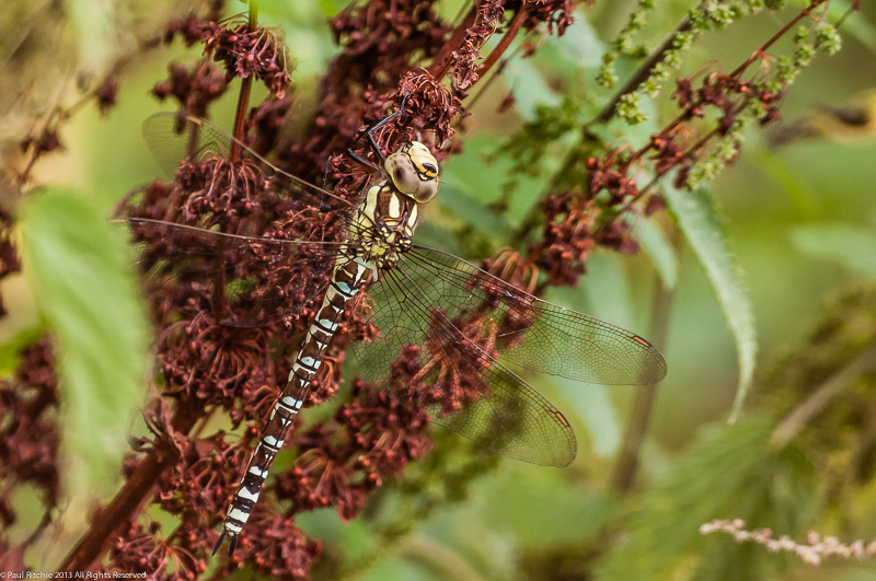 Southern Hawker - immature male