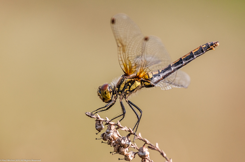 Black Darter - female