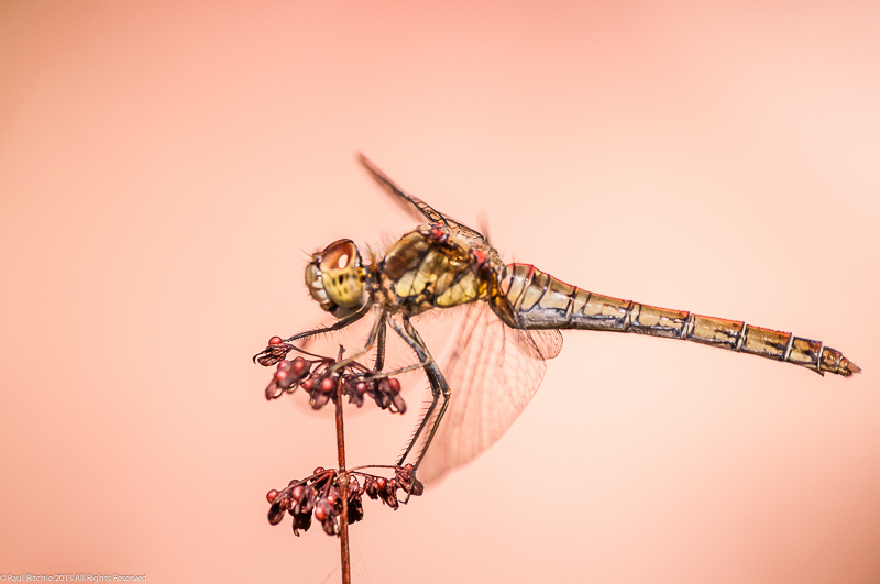 Common Darter - female