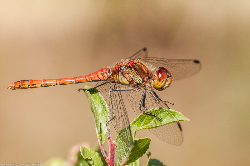 Common Darter - Male