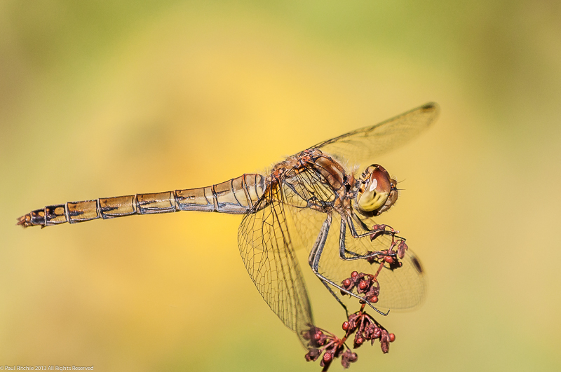Common Darter -female