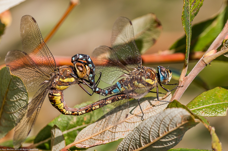 Migrant Hawkers - pair in cop