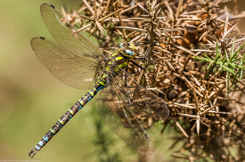 Southern Hawker - male