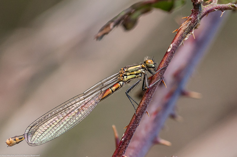 Large Red Damselfly - Immature female