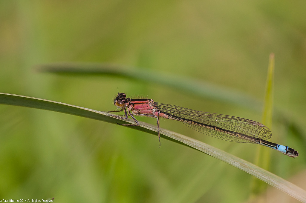 Blue-tailed Damselfly - female rufenscens