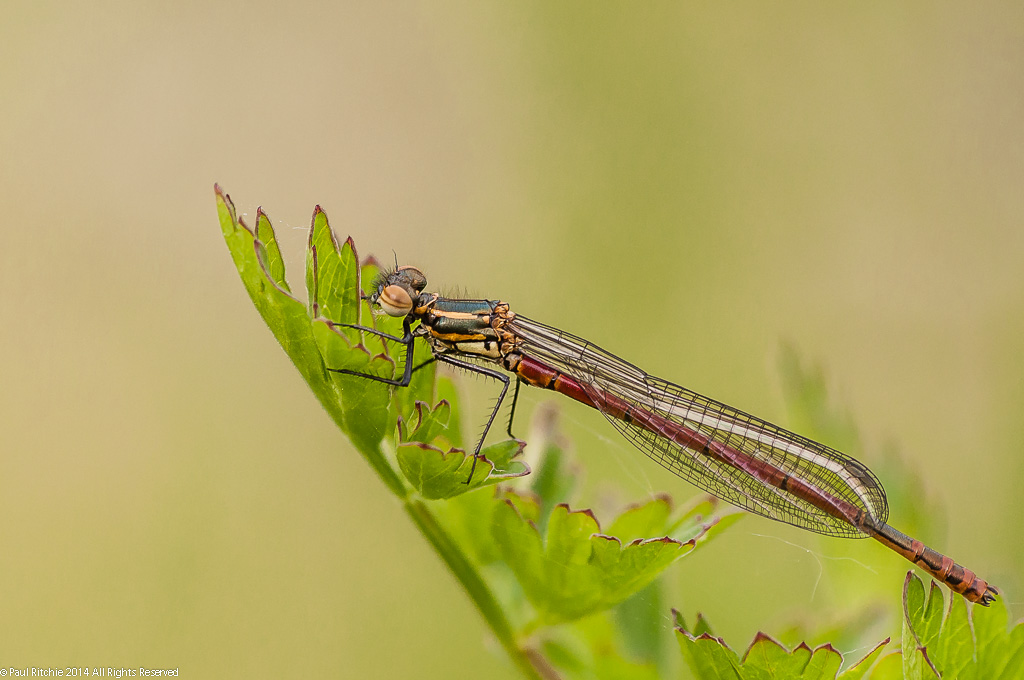 Large Red Damselfly - male