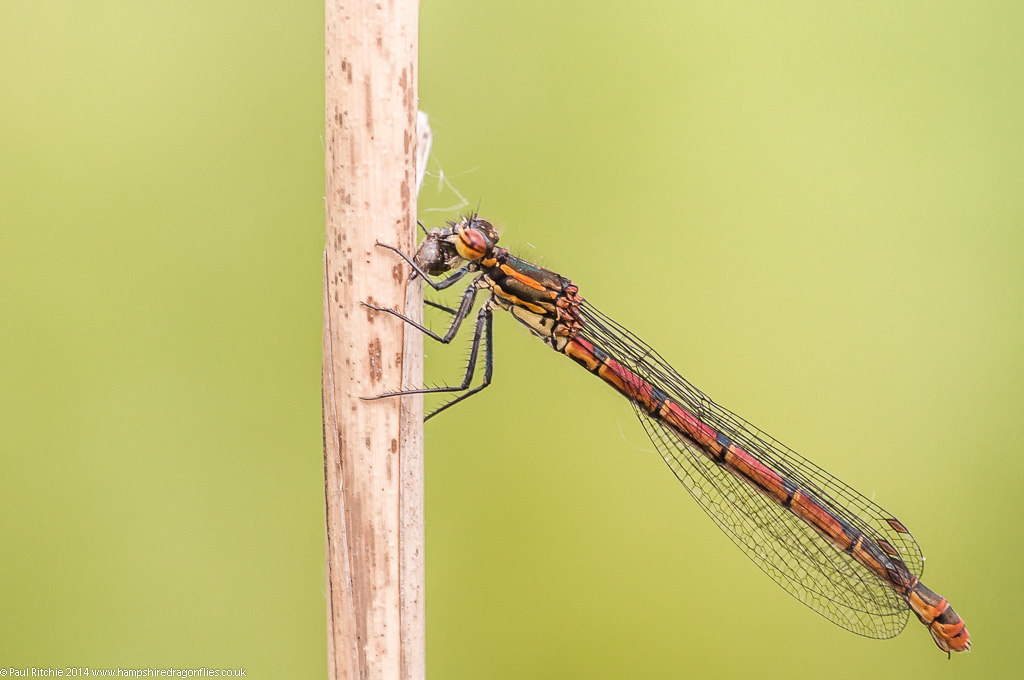 Large Red Damselfly - female feeding