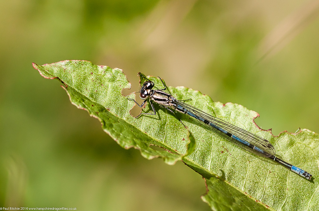 Azure Damselfly - immature male