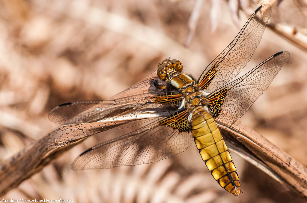 Broad-bodied Chaser - immature female