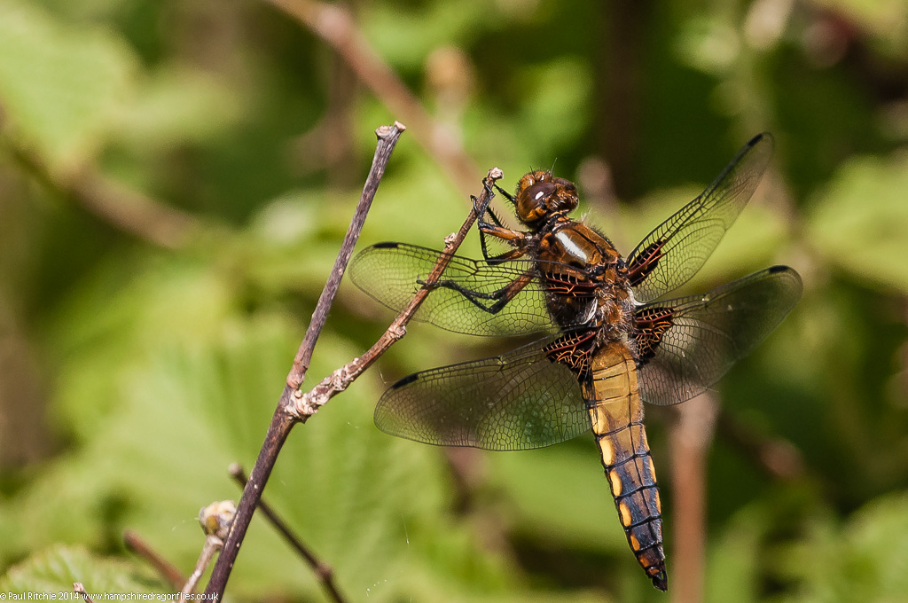 Broad-bodied Chaser - immature male