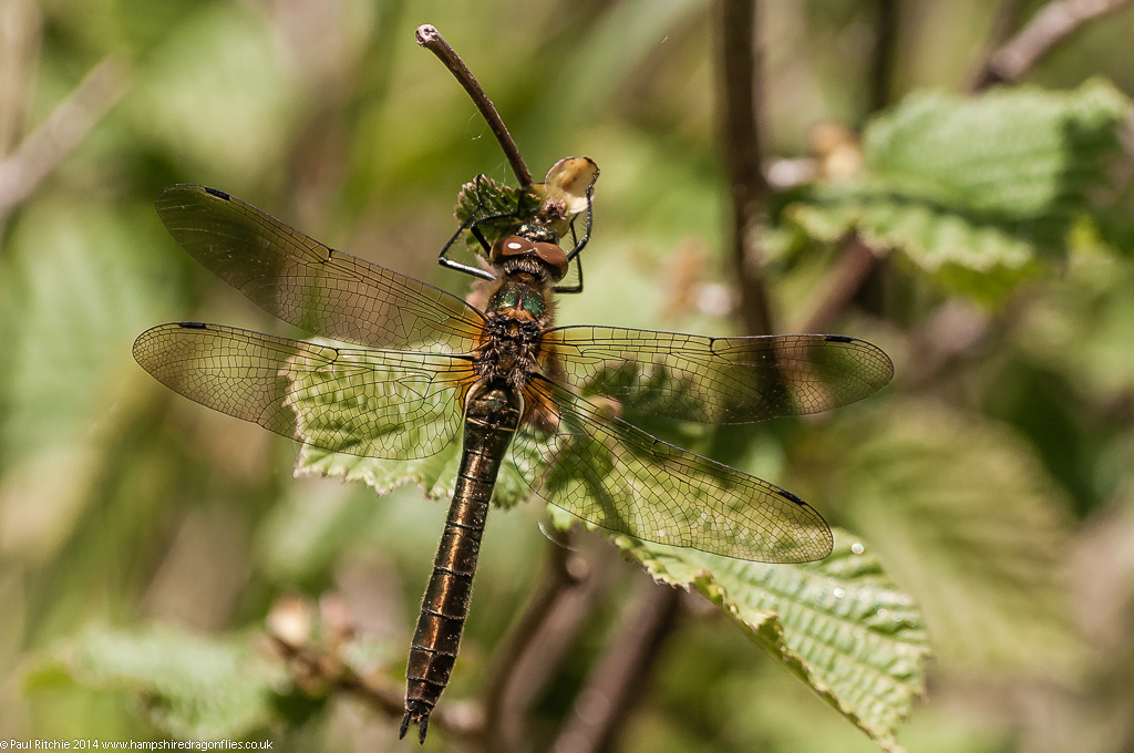 Downy Emerald - immature female