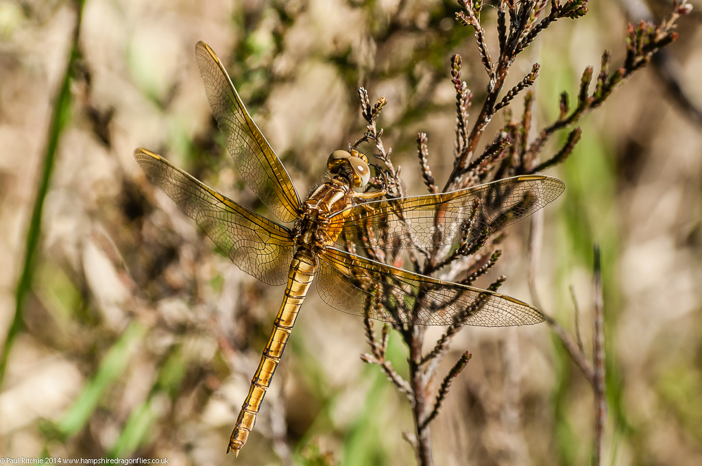 Keeled Skimmer - teneral female