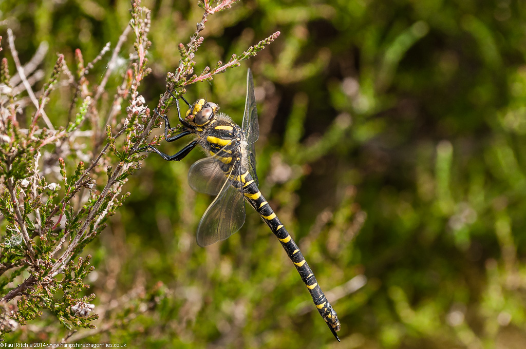 Golden-ringed Dragonfly - immature female