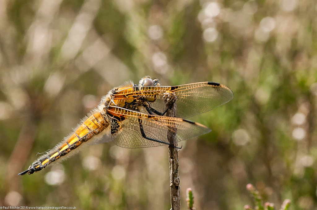 Four-spotted Chaser - immature female