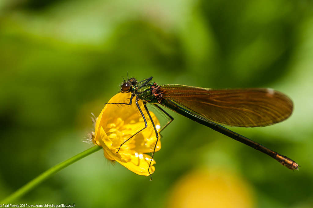 Beautiful Demoiselle - immature female