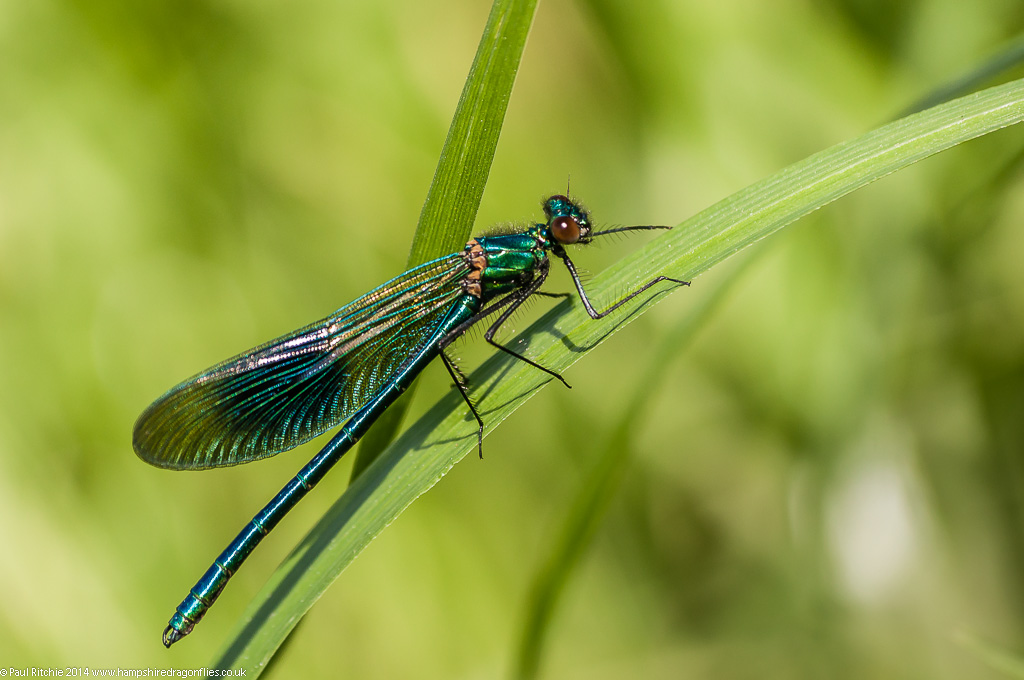 Banded Demoiselle - Immature male