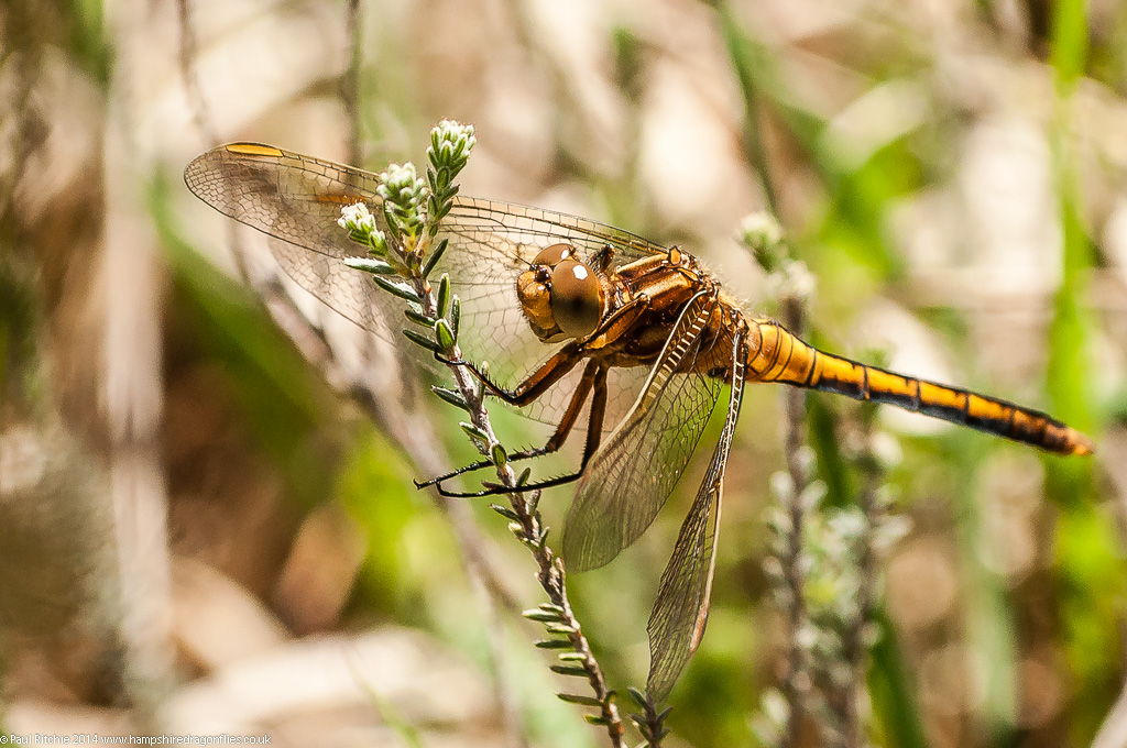 Keeled Skimmer - immature male