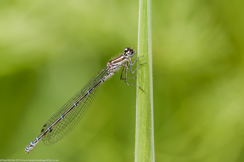Azure Damselfly - immature female