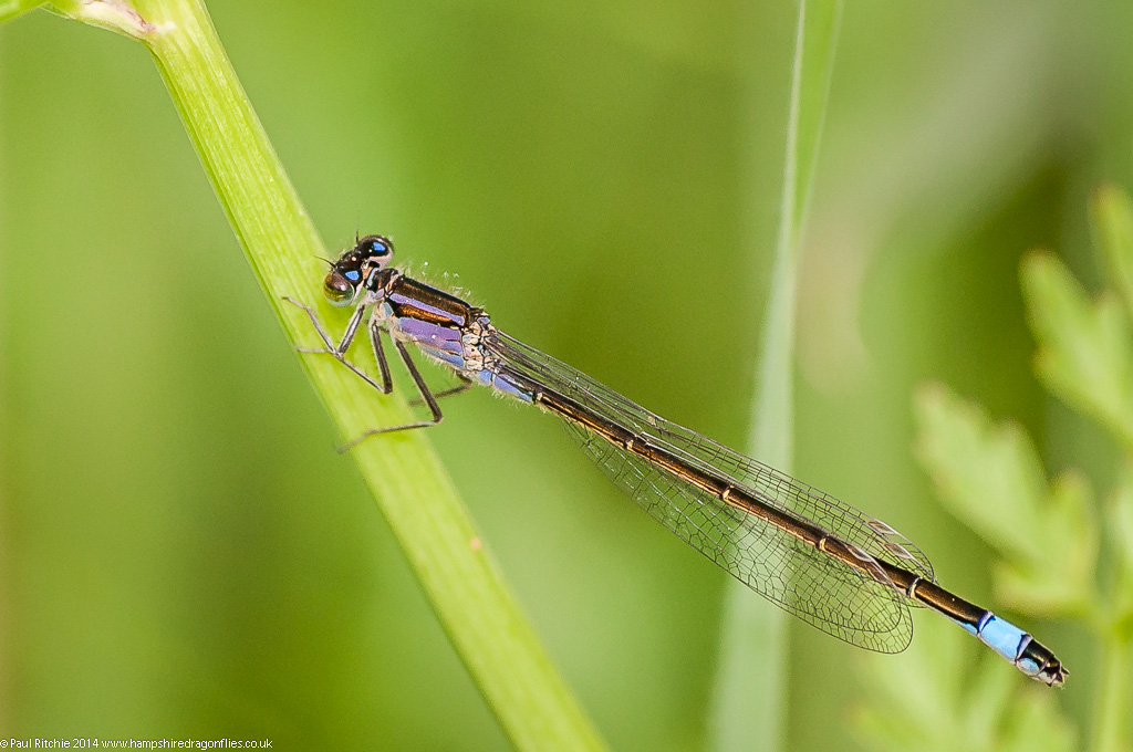 Blue-tailed Damselfly - immature female (violacea)