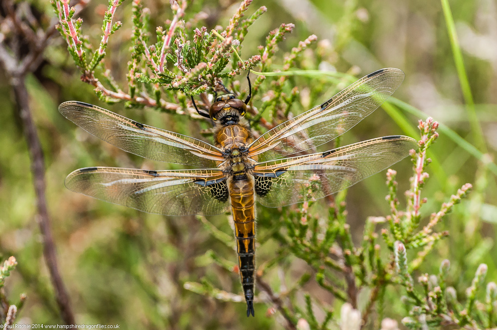 Four-spotted Chaser - teneral male