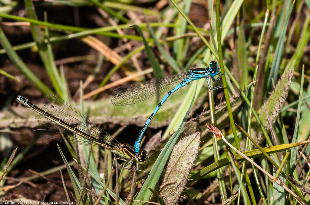 Southern Damselflies - pair in tandem