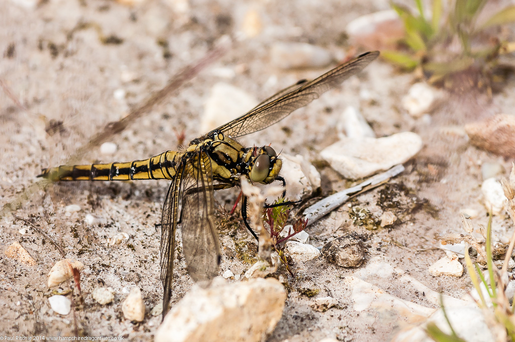 Black-tailed Skimmer - immature male