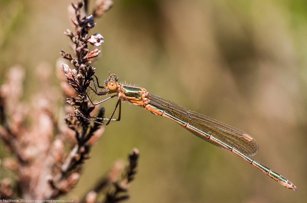 Emerald Damselfly  - teneral male