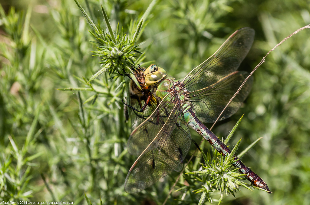 Emperor - female - feeding on Four-spotted Chaser