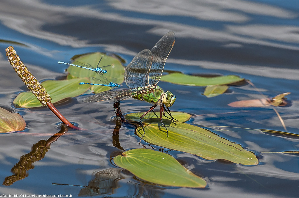 Common Blue Damselflies bother Female Emperor ovipositing