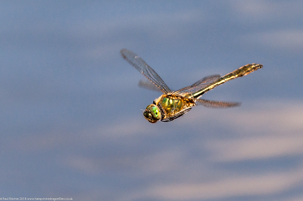 Downy Emerald - male in flight