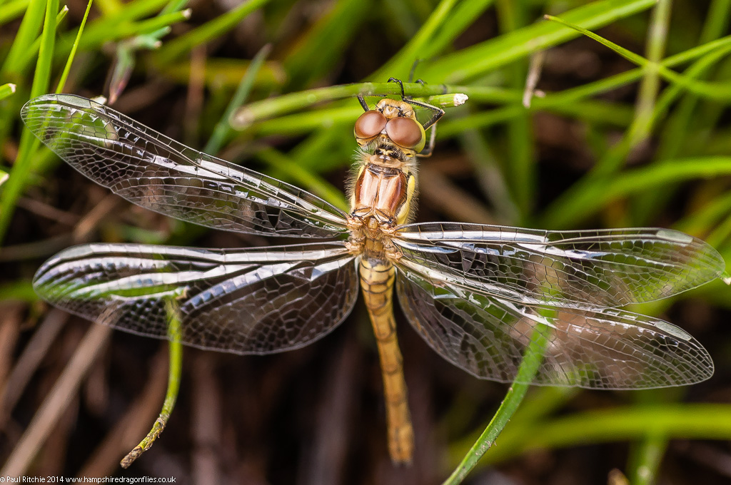 Common Darter - teneral female