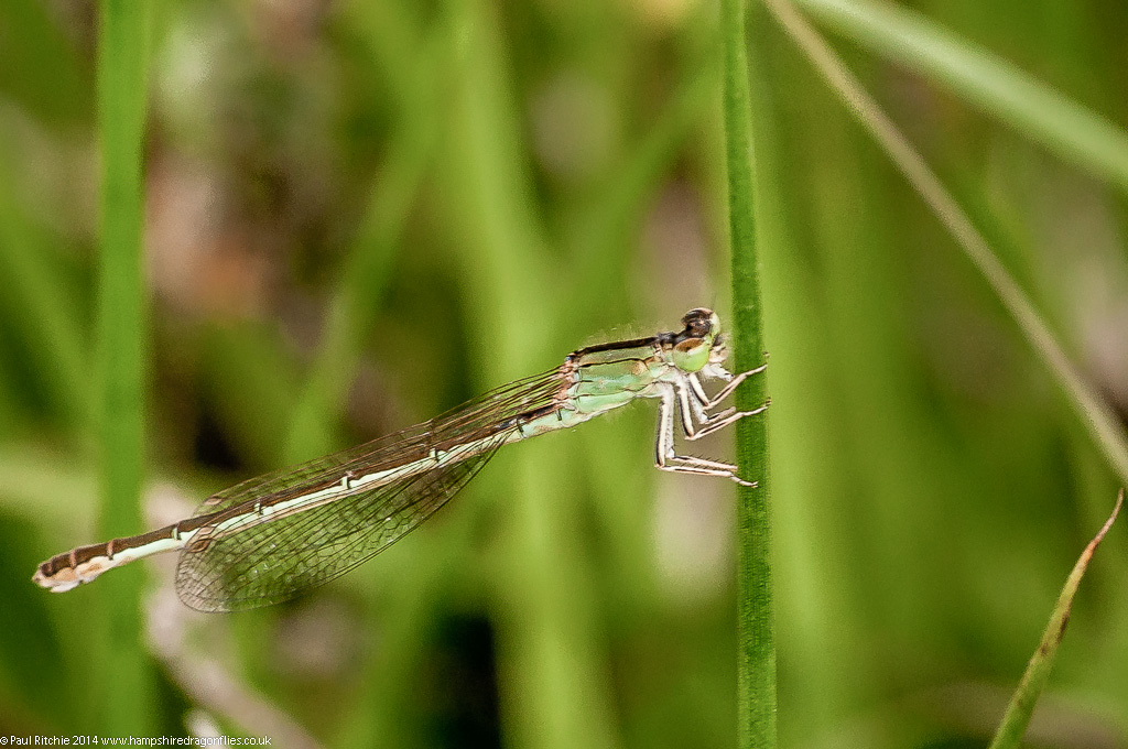 Scarce Blue-tailed Damselfly - female adult green phase