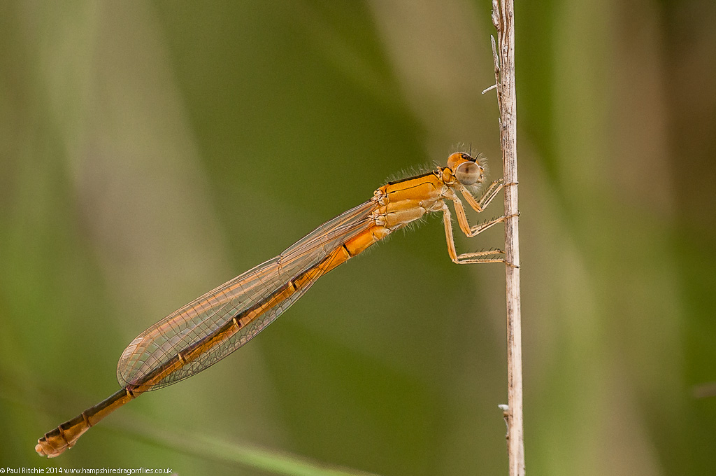 Scarce Blue-tailed Damselfly - female immature aurantiaca phase
