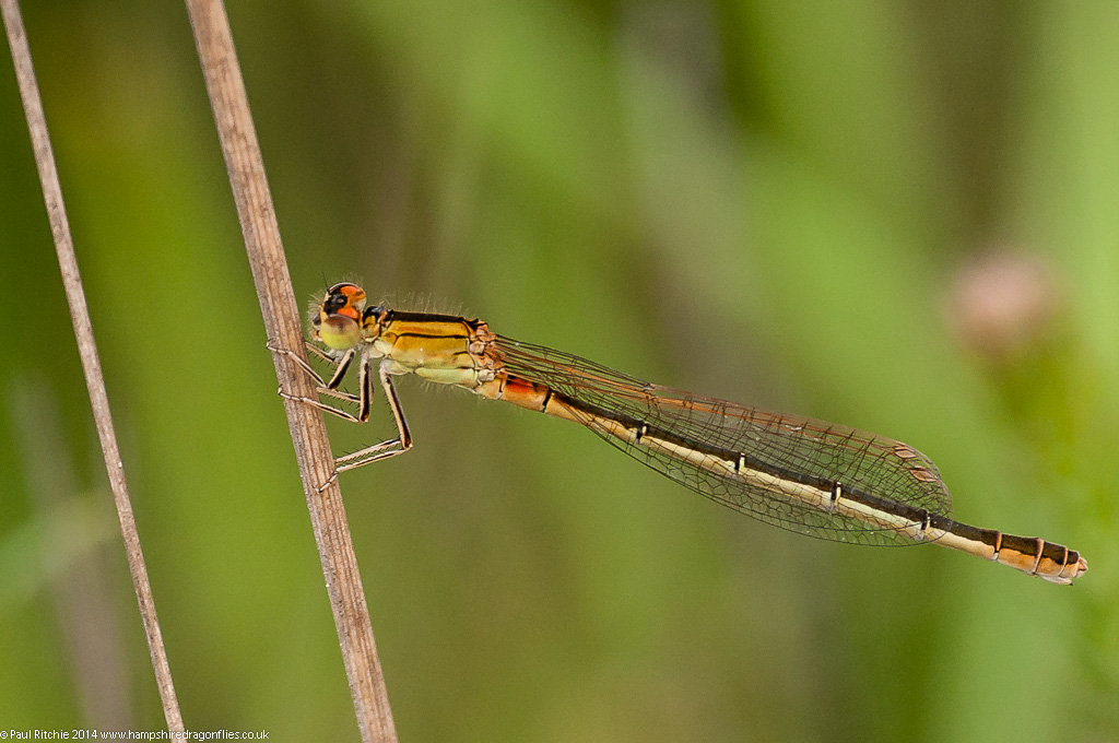 Scarce Blue-tailed Damselfly - female immature transitional phase