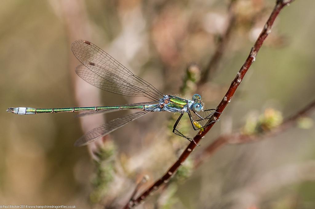 Common Emerald Damselfly - male