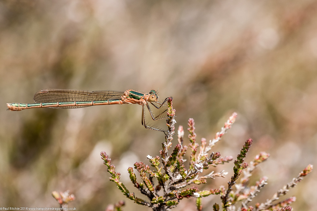 Common Emerald Damselfly - immature female